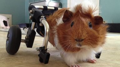PHOTO: Estella the guinea pig is pictured here with a custom wheelchair at Harvest Home Animal Sanctuary in Stockton, California.