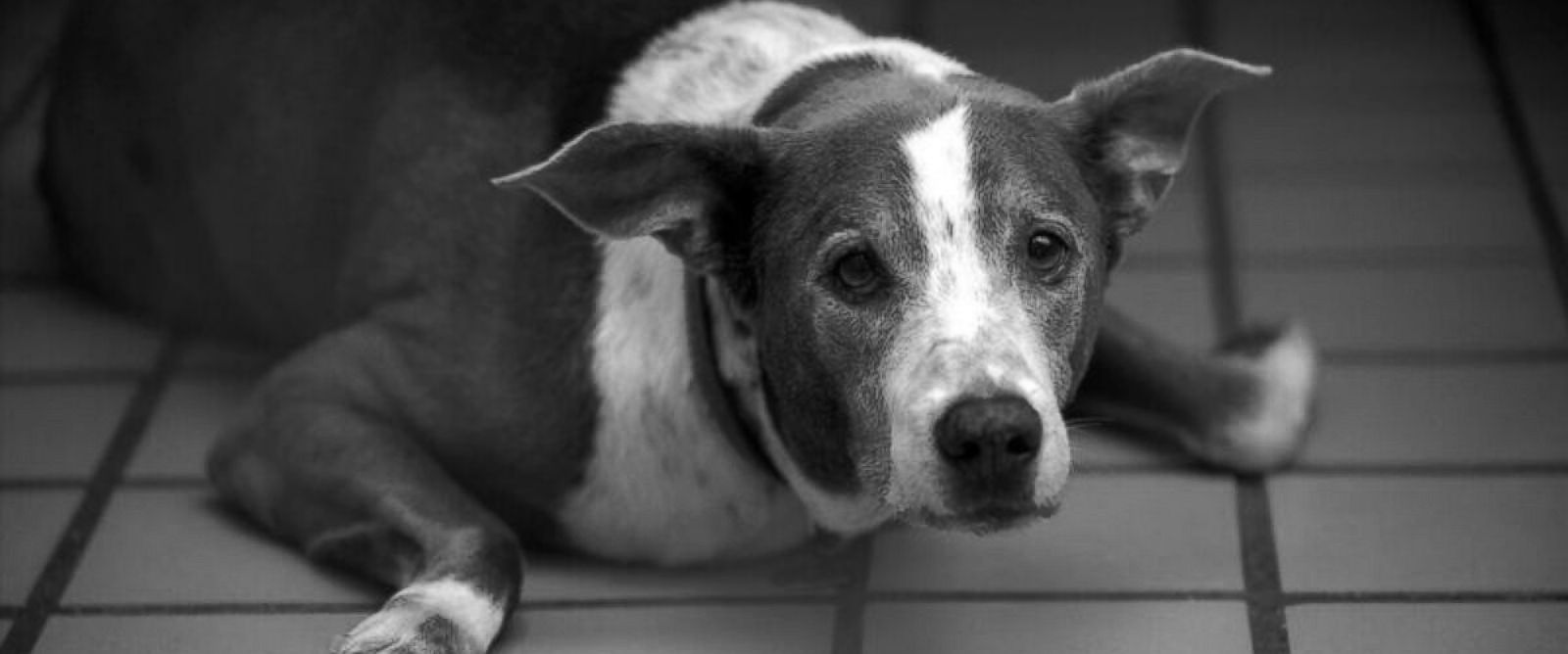 PHOTO: Roofus, a Weimaraner-mix seen in this undated handout photo, was adopted Feb. 6, 2016 after spending 6 years in the Bishop Animal Shelter in Bradenton, Fla.