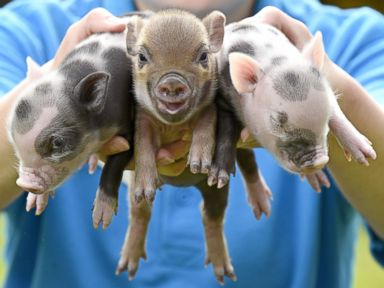 Three Little Tiny Pigs