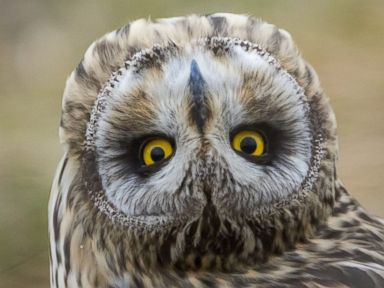 An Owl Twists Its Head Upside Down