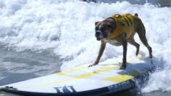 Dogs Compete in California Surf Competition