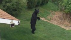 New Jersey Town Raises Over $15K For Bear Who Walks Upright