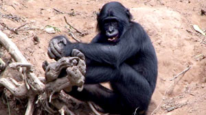 Sexy Beasts: Bonobos Make Love, Not War