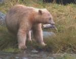 The Hunt for the Rare Spirit Bears