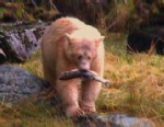 Hunt for the Rare Spirit Bears