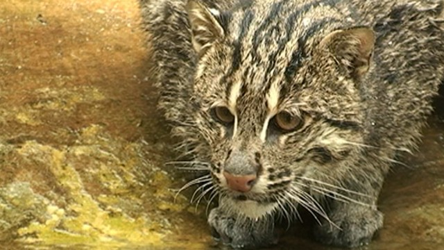 Shrimp Farms Endanger Fishing Cats