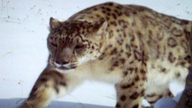 Tracking Elusive Snow Leopard in Afghanistan