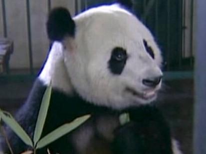 Panda Porn