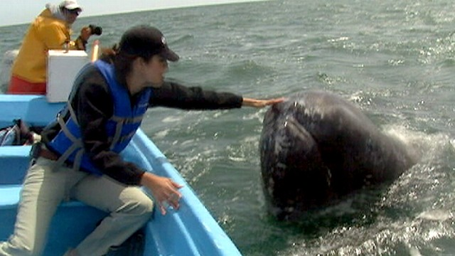 Could Arctic Drilling Hurt Gray Whales?