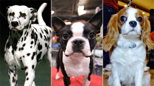 Best of Breed? Pedigree Dogs Face Disease