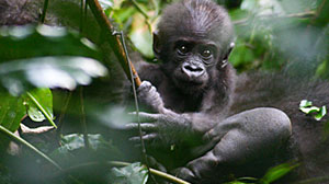 Photo: Mysterious Gorillas Roam Congos Lowlands: Researcher Observes Group Dynamics, Family Structure of Silverbacks in Lush Habitat