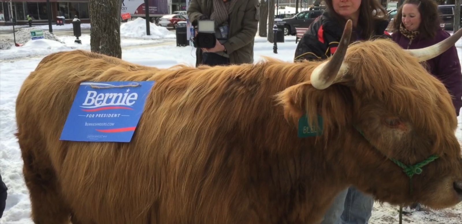 "VIDEO: Bleu's owner says this Scottish Highlander hopes to become Sanders' ""Secretary of Moo."""