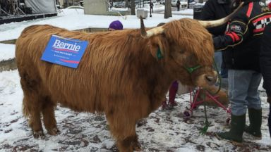 PHOTO: Bleu the Scottish highlander was spotted canvassing for Democratic presidential hopeful Bernie Sanders in Manchester, N.H., Feb. 9, 2016.