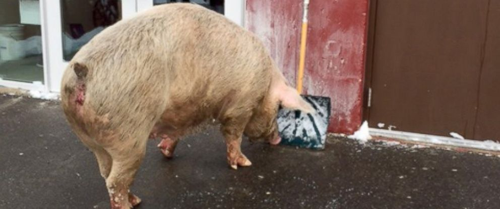 PHOTO: A massive pig weighing over 600 pounds was corralled from outside a voting station in Pelham, New Hampshire, Feb. 9, 2016, according to police.