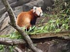 PHOTO: Red panda Rusty is back home in his exhibit!