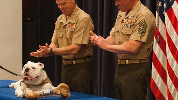 VIDEO: Sgt. Chesty XIII, Marine Corps Mascot Retires; New Mascot Appointed