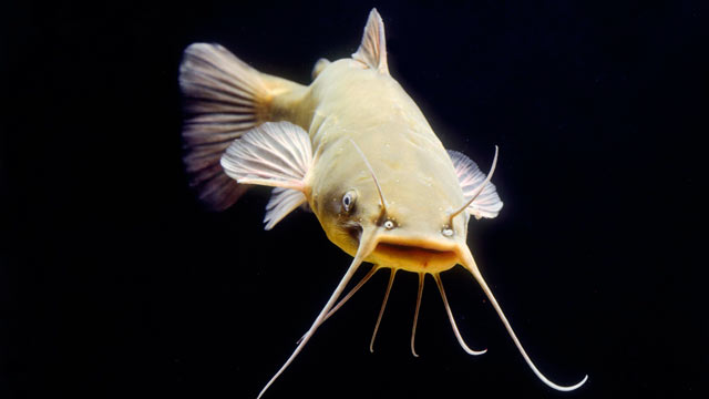 PHOTO: Sen. John McCain is opposed to a new farm bill that would call for $30 million to inspect catfish.
