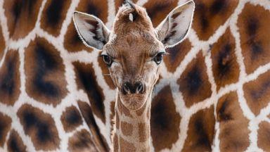 PHOTO: Eric, a newborn Rothschild giraffe, at the Tierpark zoo in Berlin, April 19, 2013.