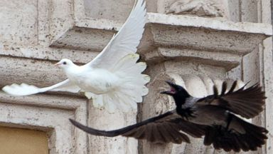 PHOTO: A dove which was freed by children flanked by Pope Francis during the Angelus prayer, is chased by a black crow in St. Peters Square, at the Vatican, Jan. 26, 2014.