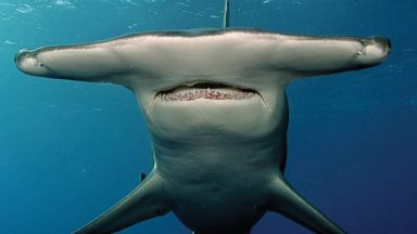 PHOTO: A Great hammerhead shark is seen, March 27, 2004 in the Bahamas.