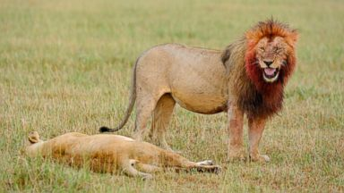 PHOTO: A male lion killed a female while zoo visitors watched, Nov. 17, 2013, in Dallas.