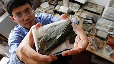 PHOTO: Min Zhu shows a fossil of the heavily armoured fish