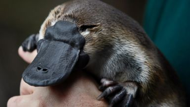 PHOTO: An adult male platypus named Millsom is carried by his keeper at an animal sanctuary in Melbourne May 8, 2008.
