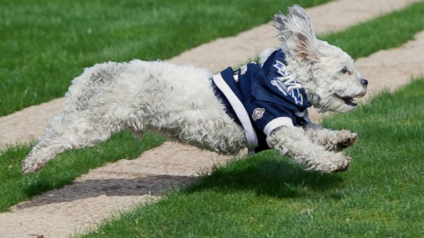 AP Hank running 140226 16x9 608 The Most Adorable Thing in Baseball Is a Stray Dog Named Hank