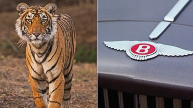 PHOTO:A tiger is seen in a forest at the Ranthambhore National Park in this undated file photo. A 1989 Bentley Turbo logo is seen in this undated file photo.