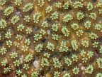 PHOTO: Star Ascidian