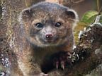 PHOTO: The olinguito