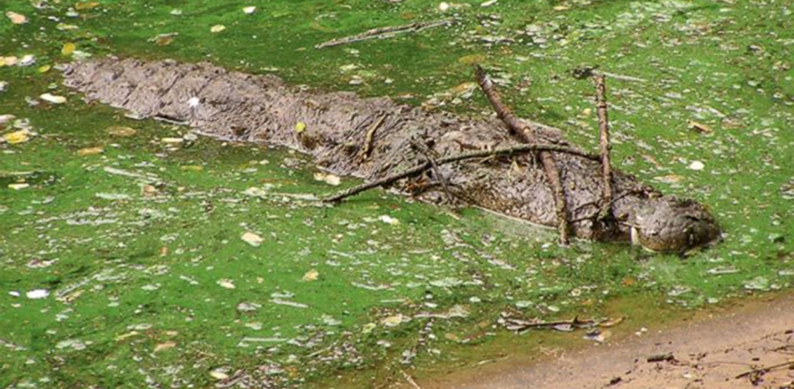PHOTO: Crocodiles and alligators have been found to balance sticks on their snouts as a way to lure nest-building birds into reach of their jaws.