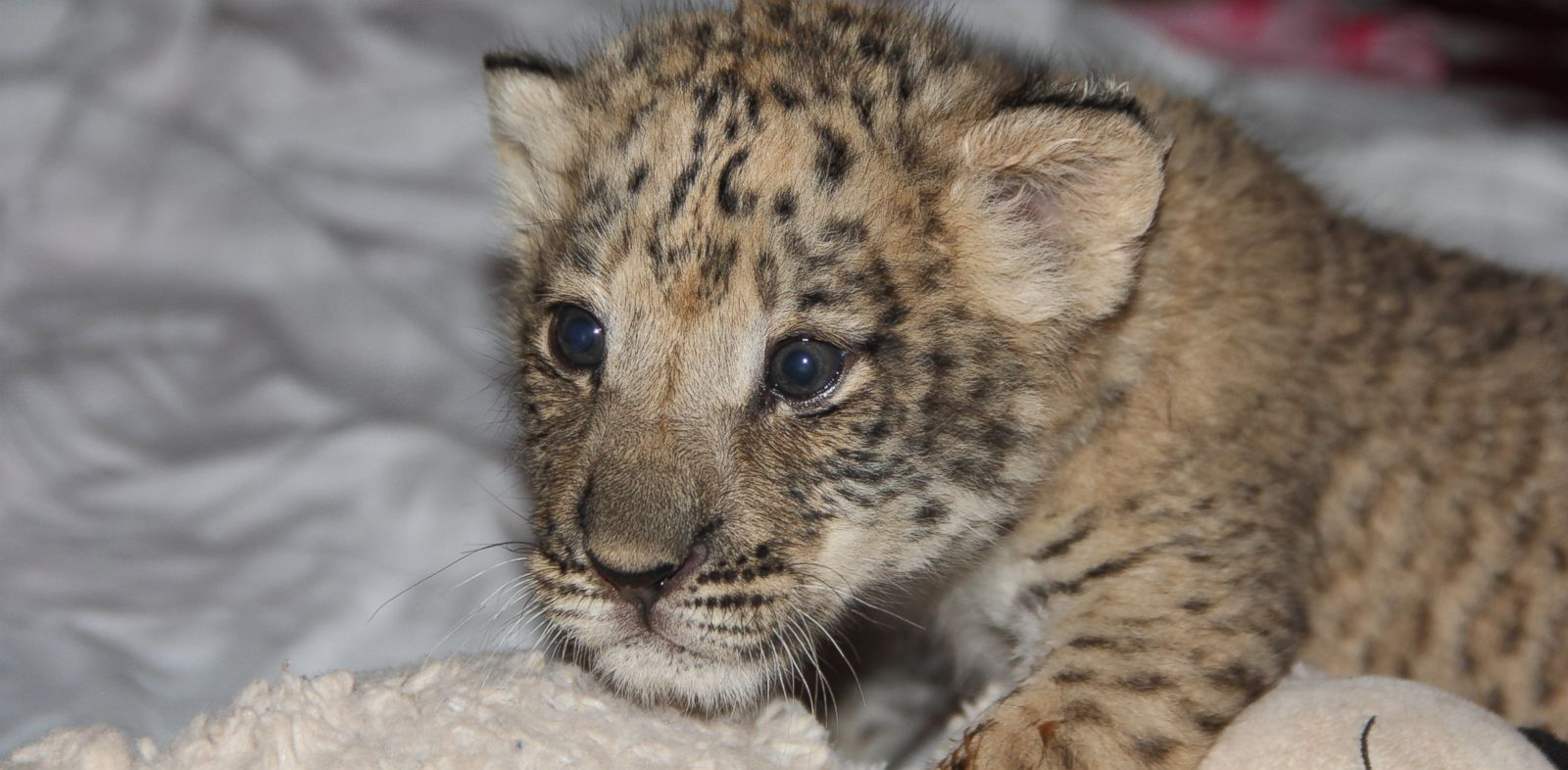 PHOTO: The United States first liliger cubs will have their own exhibit early next year.