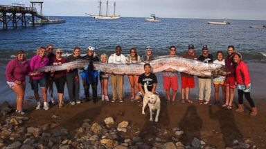 PHOTO: Catalina Island Marine Institutes Sailing School holds the 18-foot-long oarfish