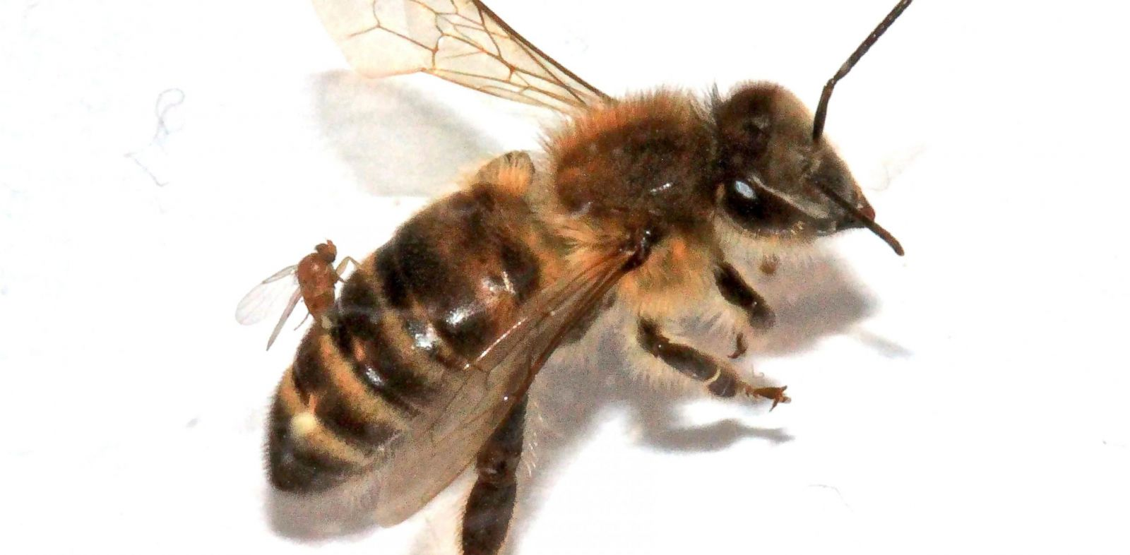 PHOTO: Female flies infest a bee