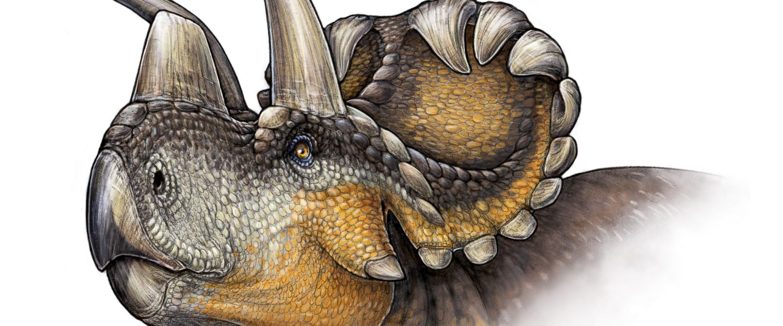 PHOTO: An illustration of the newly discovered Wendiceratops Dinosaur.