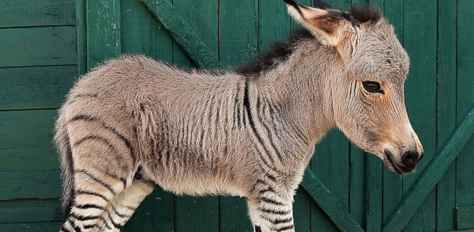 "PHOTO: Ippo the ""zonkey"", a zebra-donkey hybrid was born, July 2013 at a Florence reserve in Italy."