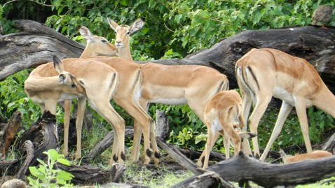 abc impalas tk 111220 wblog Hunting With a Most Endangered Hunter