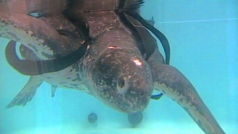abc wnn turtle rescue jt 120923 wblog Rescued 655 Pound Sea Turtle Released