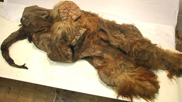 PHOTO: Well-preserved carcass of a Siberian mammoth, more than 10,000 years old, found with fur and bones, and evidence that human hunters may have cut it open.