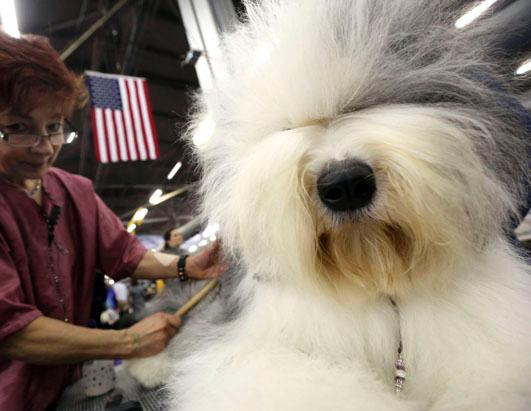 http://a.abcnews.go.com/images/Technology/ap_old_english_sheep_dog_westminster_backstage_ss_thg_130212_ssh.jpg