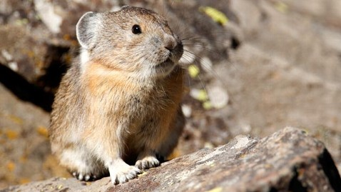 gty american pika jef 111112 wblog Cute Animal + Warming Climate = New Species (of News)