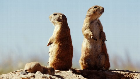 gty american prairie dogs jt 120121 wblog How Would a Prairie Dog Describe You? Thin? Short? Just Ask One