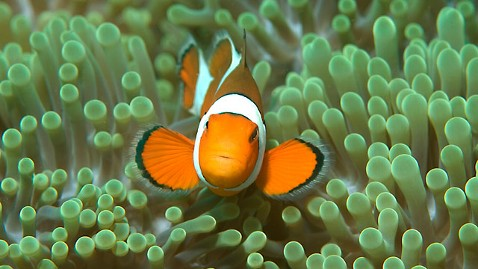 gty clown fish jt 120211 wblog Play Seen in Humans, Fish, Atoms, and the Universe