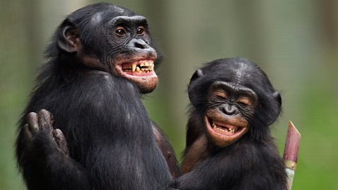 gty joyful chimpanzees jt 120301 wblog The Joy of Your Brain...  and the Dark Side of Laughter