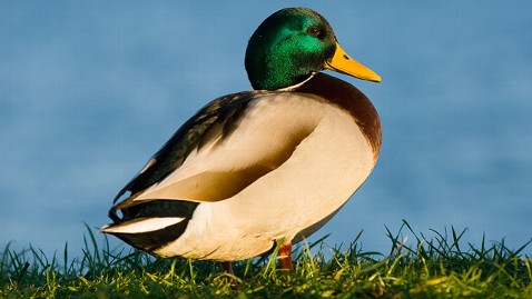 gty male mallard duck jt 120415 wblog Climate Canard No. 1: A Crime Against Humanity (and the Central Fear About Global Warming)