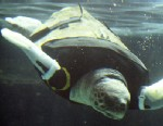 PHOTO: Yu, an approximately 25-year-old female loggerhead turtle, swims after receiving her 27th pair of artificial front legs at the Suma Aqualife Park in Kobe, Feb. 12, 2013.