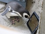 "PHOTO: Newsom the penguin plays the iPad app ""Game for Cats"" at the Aquarium of the Pacific in Long Beach, Calif."