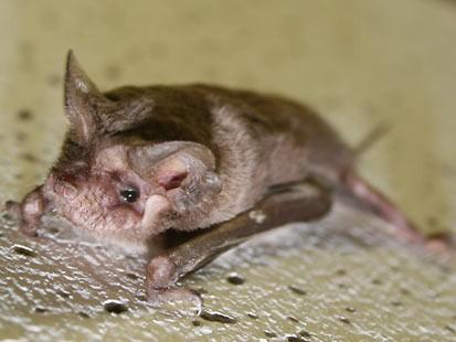 Bat Sings Louder than a Rock Band
