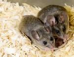 PHOTO: California mice